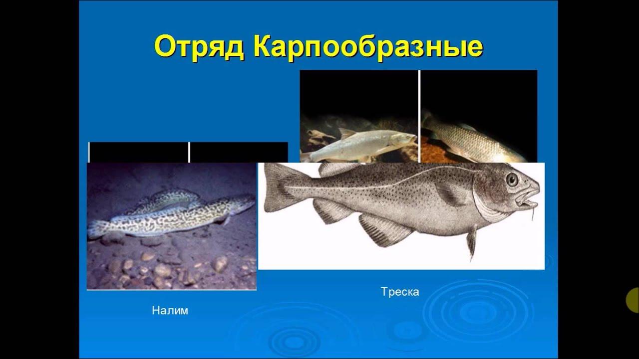 Класс рыб химеры биология слайд шоу