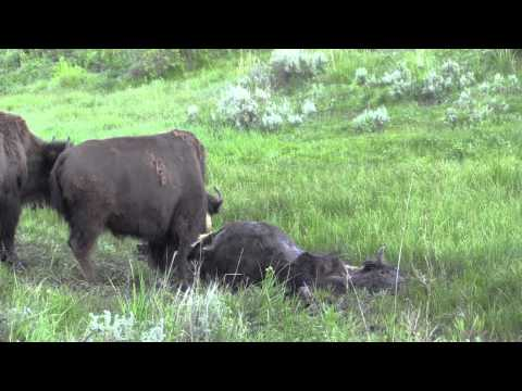 Bison Funeral in The Lamar Yellowstone