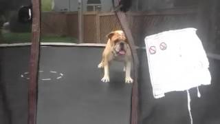 Dog Jumping On Trampoline