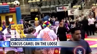 Caught on Camera: Circus camel goes berserk