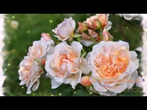 романтический сад английских роз, топ 25, 2014 год