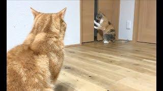 ドアを開けたいモモと見てる猫たち