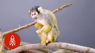 This Adorable Squirrel Monkey Is Losing Its Home thumbnail