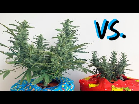 Do We Need Nutrient Additives? Growing Cannabis Plants with Kratky Hydroponics