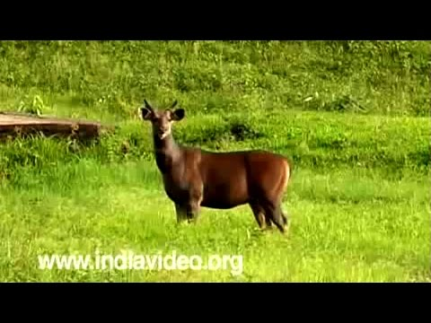 Deers seen in the fauna of Kerala