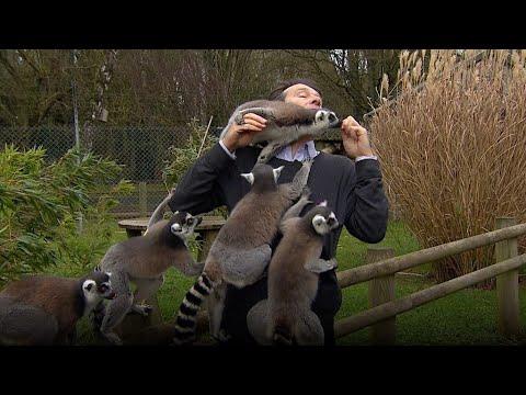 BBC記者、飛び交うキツネザルにもみくちゃにされ