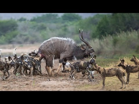 Best Attack Wild Epic Battle Of Wild Dogs Vs Animals Is Not Never | Lion , Buffalo , Warthog , Deer