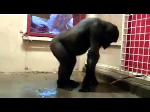 Macaco Dançando