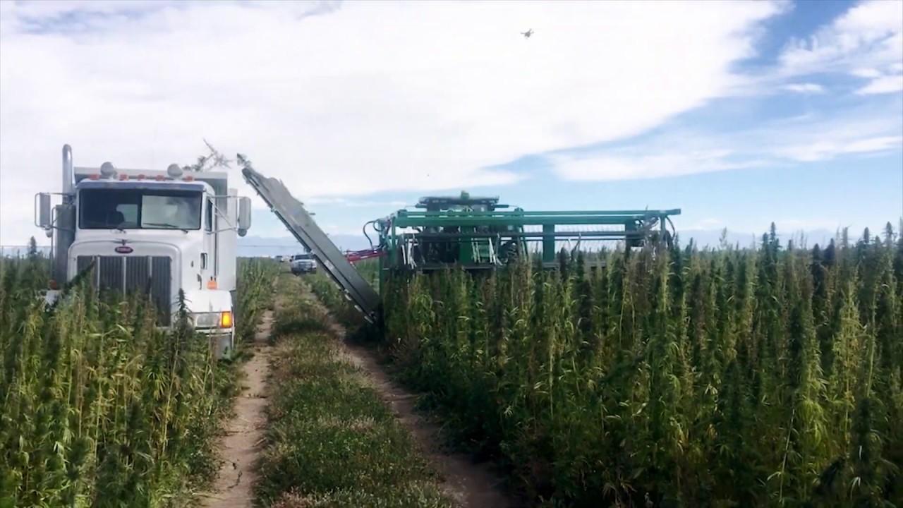 CBD Hemp Harvest of tall hemp plants