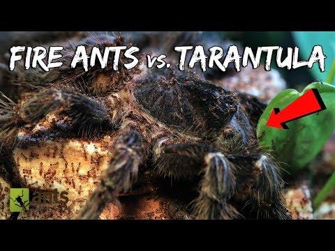 Fire Ants vs. Bird-Eater Tarantula