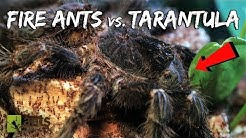 Fire Ants vs. Bird-Eater Tarantula