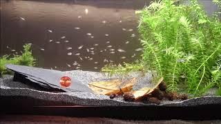 Mikrogeophagus Ramirezi - Electric Blue Nachwuchs 25 Tage alt