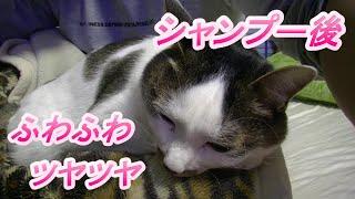 シャンプー乾燥後のフワフワツヤツヤな猫