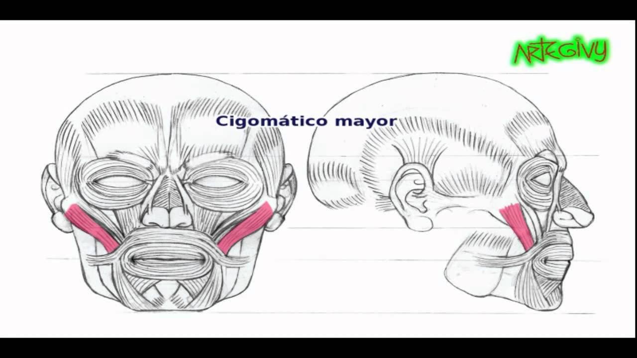 Anatomía para artistas: LOS MÚSCULOS DEL ROSTRO (audio) - YouTube