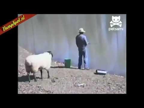 Schaap duwt visser de plomp in