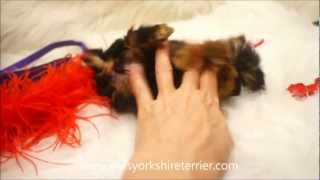 Micro Teacup Yorkshire Terrier (Yorkie) - Sugar Butt