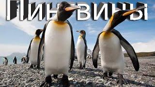 Путешествие на край земли| Королевский пингвин| Огненная земля| ЧИЛИ