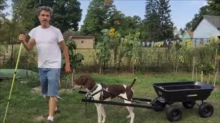 Basic Dog Cart, Working dog Draft cart made from $69 Gorila Cart for Service Dog