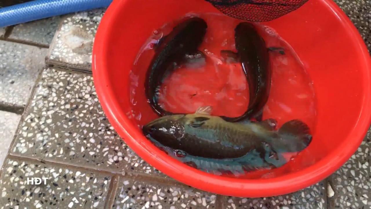 Bắt Cá Trê và Cá Rô Trong Hồ Xi măng Sau 2 Năm Nuôi 😍😍😍