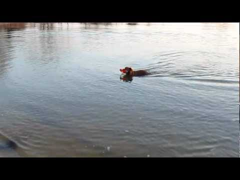Abbie the Nova Scotia Duck Tolling Retriever - 2 years old - James River