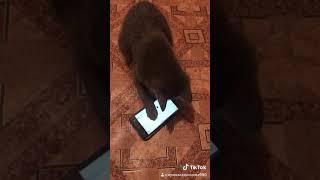 Котёнок играет в телефон супер котёнок