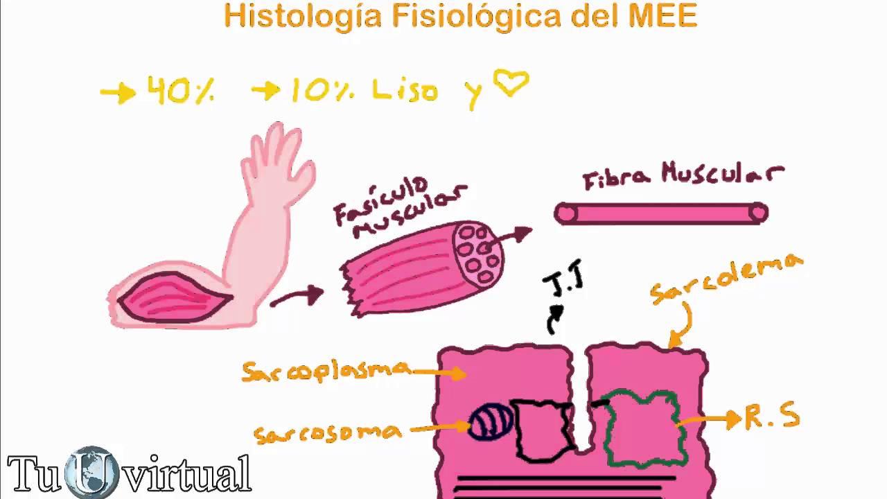 Fisiología Contracción Muscular Parte 1 Histología Fisiológica Del Músculo Estriado Esquelético