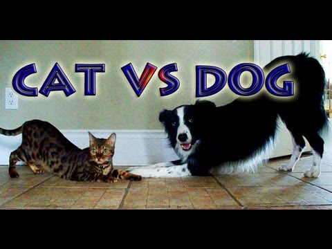 Thumbnail for Cat Video Cat vs Dog: A Trick Contest