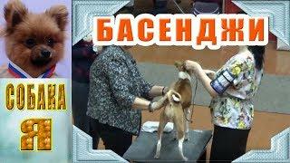 Басенджи, региональная выставка собак в Архангельске, Русский север