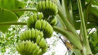 Как растет банан в Турции
