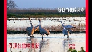 Sandhill Cranes Call & Fly-in