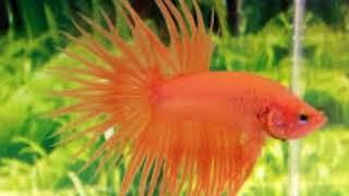 15 Ikan cupang hias terbaik didunia berharga puluhan juta