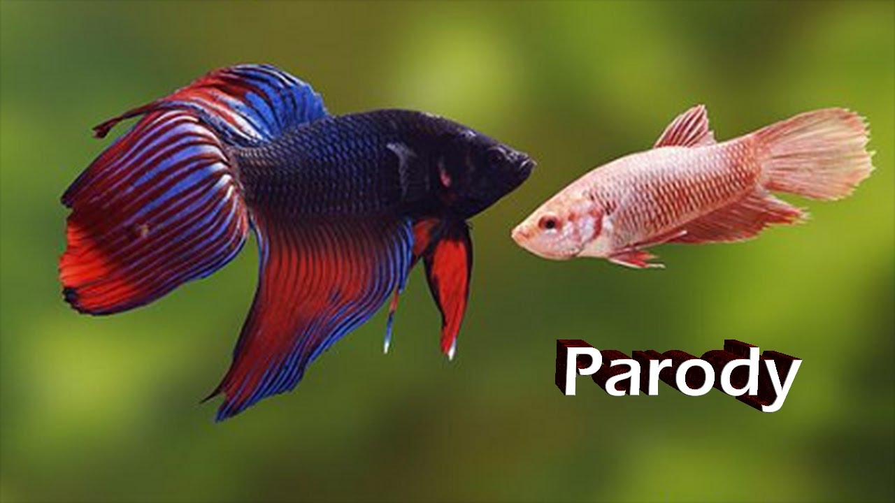 Betta fish fight love parody part ii youtube for Fish that get along with betta