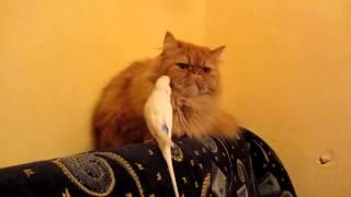 Попка, ты уже достал котэ! Сладкая парочка - персидский кот и попугай