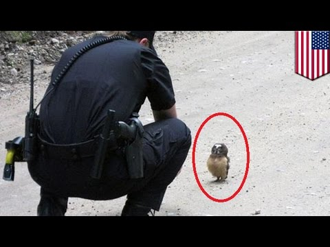 Viral video shows Colorado cop talking to adorable baby tiny owl in the street - TomoNews