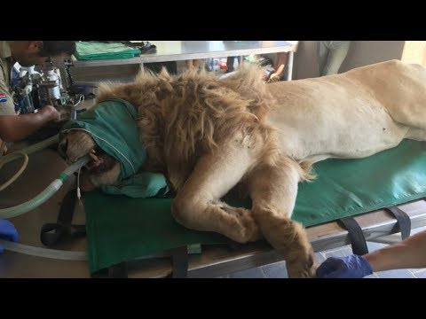 360 Video: Up Close & Personal With Lions TEETH | The Lion Whisperer