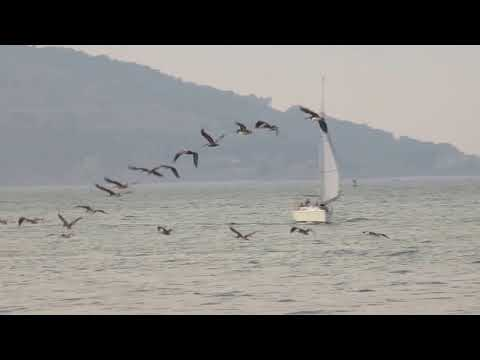 California Brown Pelicans fly in formation over San Francisco Bay near Pier 15
