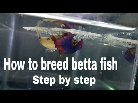 How To Breed Betta Fish Step By Step | More Detailed Easy Way Of Breeding A Betta Fish