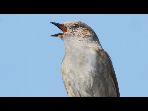 Dunnock Song - (Hedge Sparrow)
