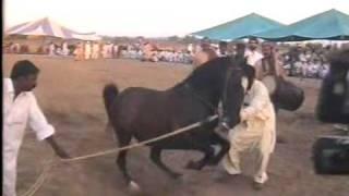 Nisar Stud Farm, Amer Nisar Khan, Garha Jatan, Festival, Kharian, Horse Dancing June 2009