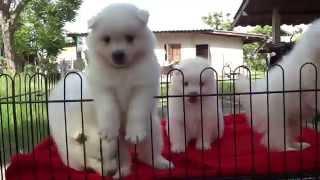 Babydogs Chiangmaiน้องสปิดน้อย  ขนปุกปุยเปิดจำหน่ายพร้อมย้ายบ้าน
