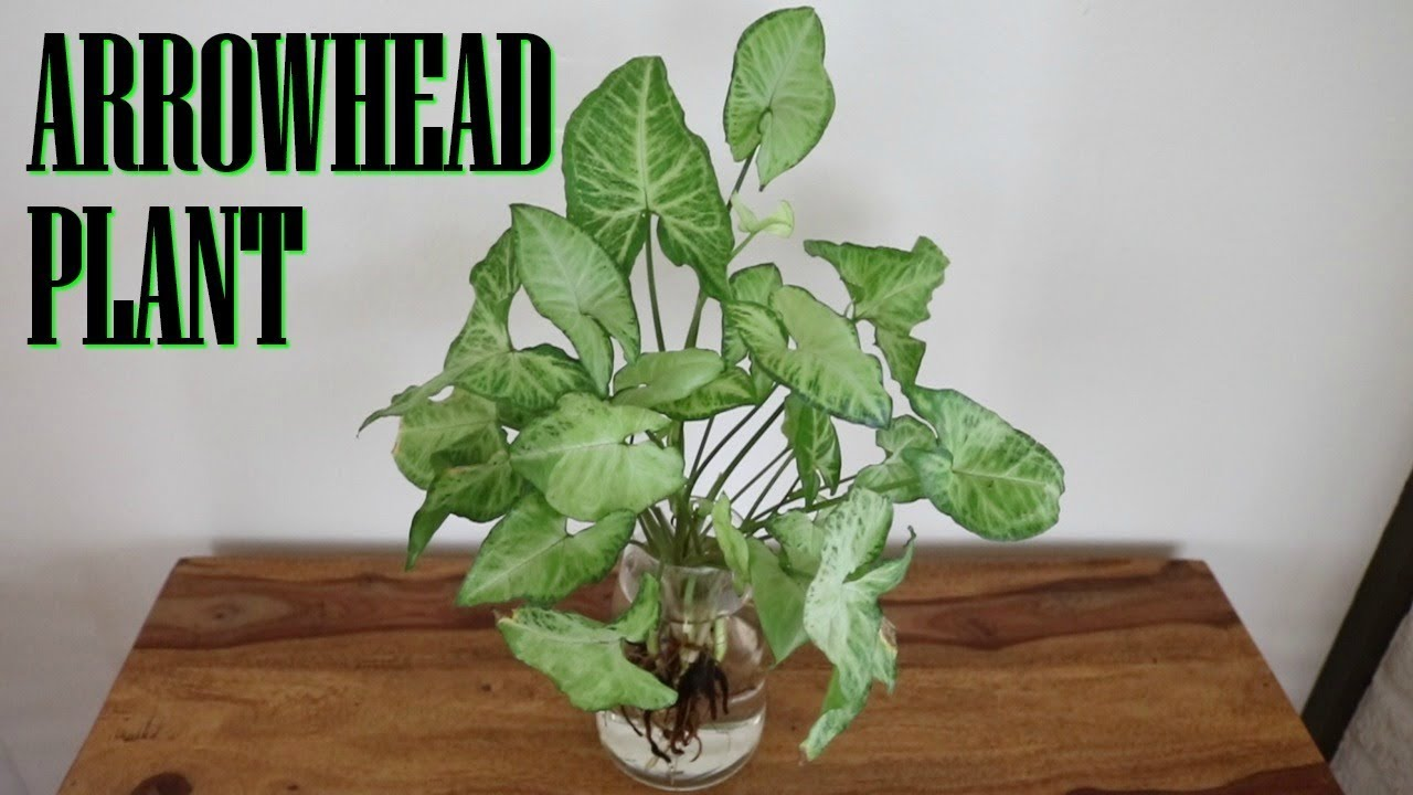 Arrowhead Rooted Plant cuttings