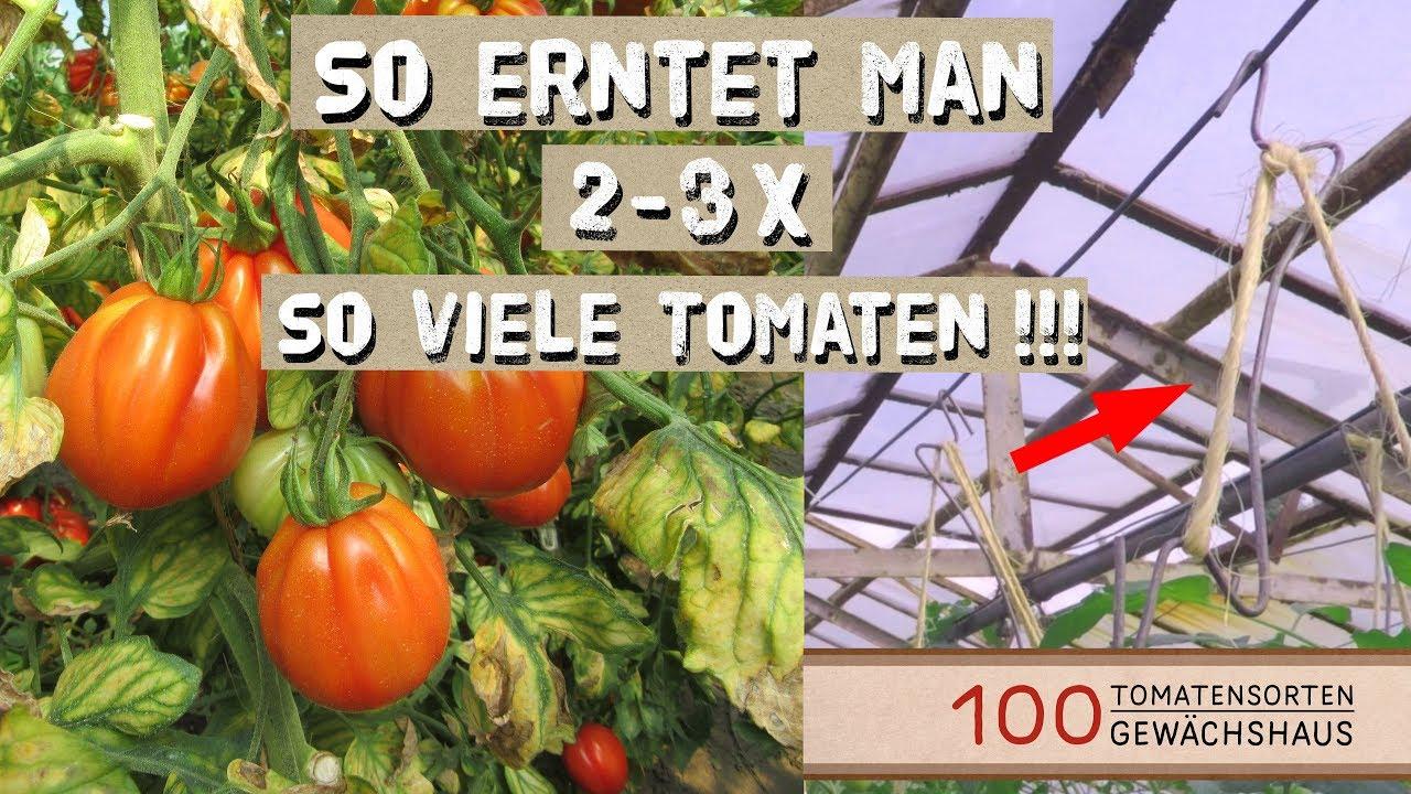 Tomaten Ausgeizen Anbinden Mit Tomatenhaken 100 Tomatensorten