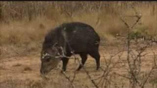 Hog Hunting - South Texas Part 2 08