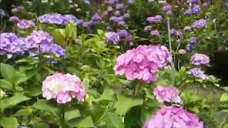 本土寺の紫陽花(あじさい)