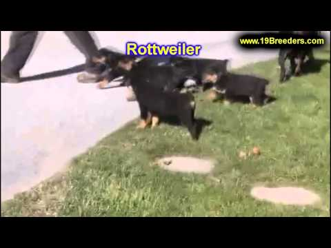 Rottweiler, Puppies, Dogs, For Sale, In Chicago, Illinois, IL, 19Breeders, Rockford, Naperville
