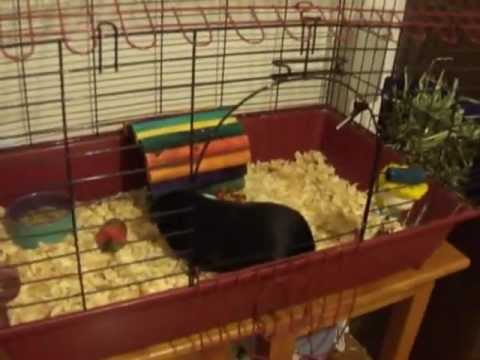 How to clean a store bought guinea pig cage youtube for How to clean guinea pig cages