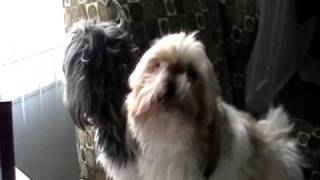Shih Tzu: Funny Dog Video - Crazy Bark & Weird Noises At The Ups Truck