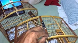 gaiola coleiro papacapim  caboclinho