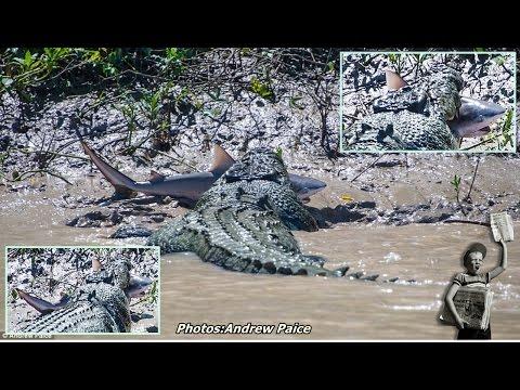 Unfortunate shark is eaten alive by a monster crocodile