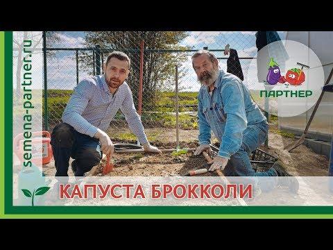 Вопрос: Как правильно выращивать рассаду для брокколи Полив, уход, высадка?